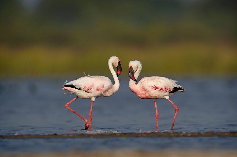 Lesser flamingo photographed in India
