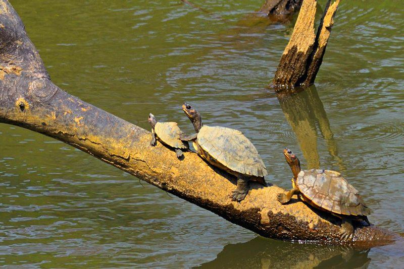 Sun basking turtles in India