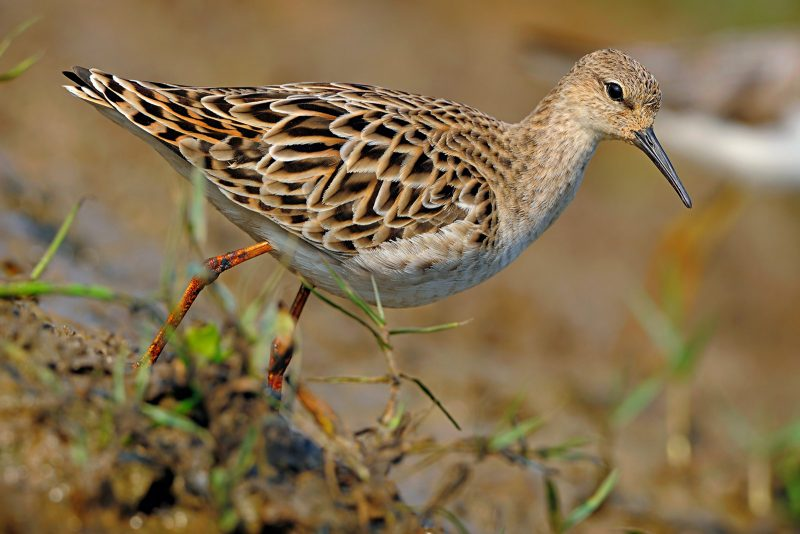 Ruff photographed in India
