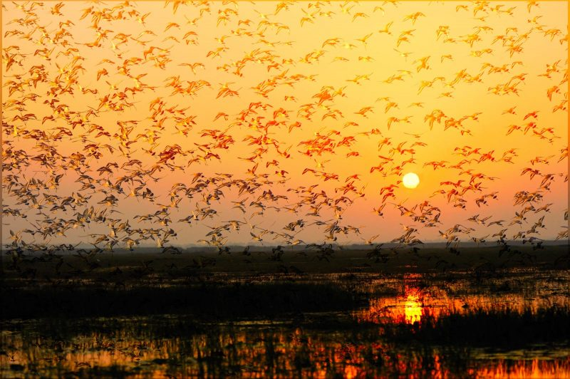 Black tailed godwits at sunset in India