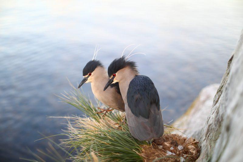 black crowned night herons falkland island