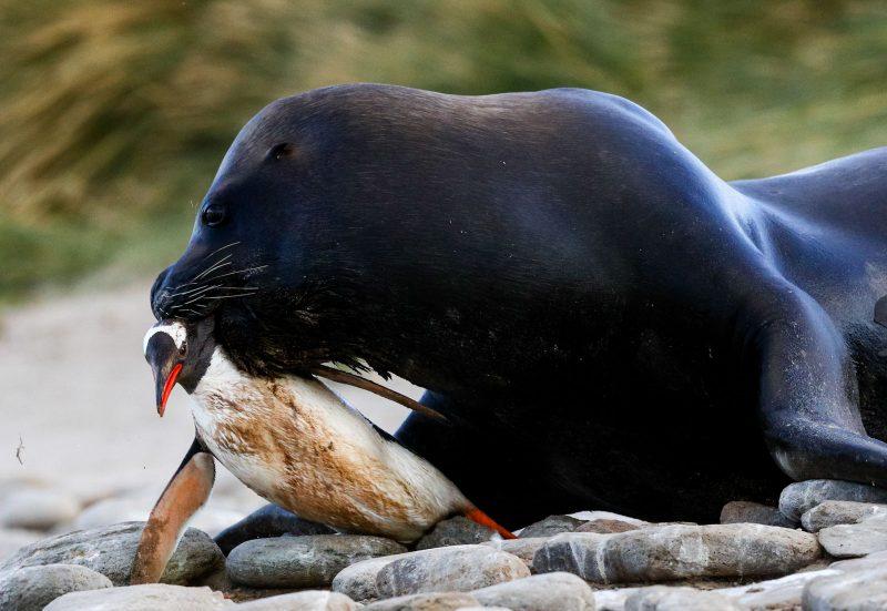 sea lion with gentoo penguin prey