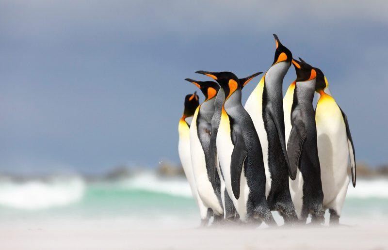 king penguins in the Falklands
