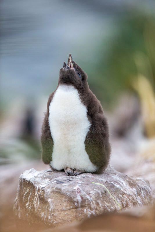 rockhopper penguin chick