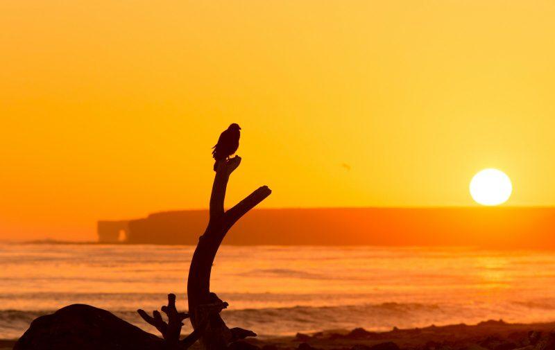 striated caracara on sea lion island
