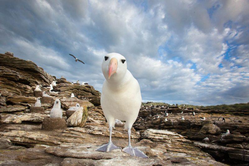 black browed albatross on the Falkland islands