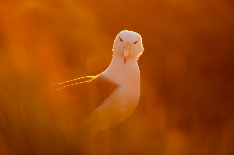 Albatross on Falkland Islands