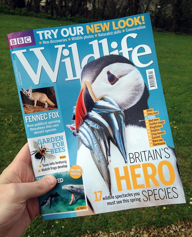 Drew Buckley puffin photo on bbc wildlife magazine