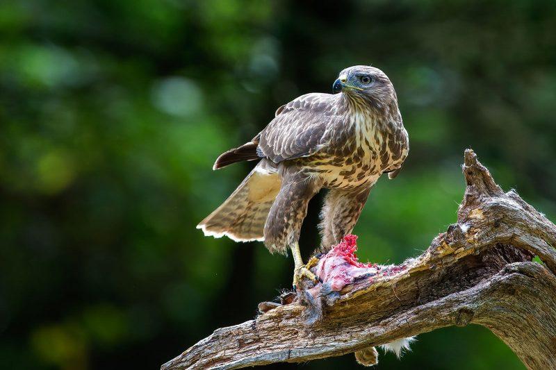 Buzzard on branch in Woodland