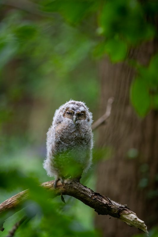 Tawny owl chick in woodland