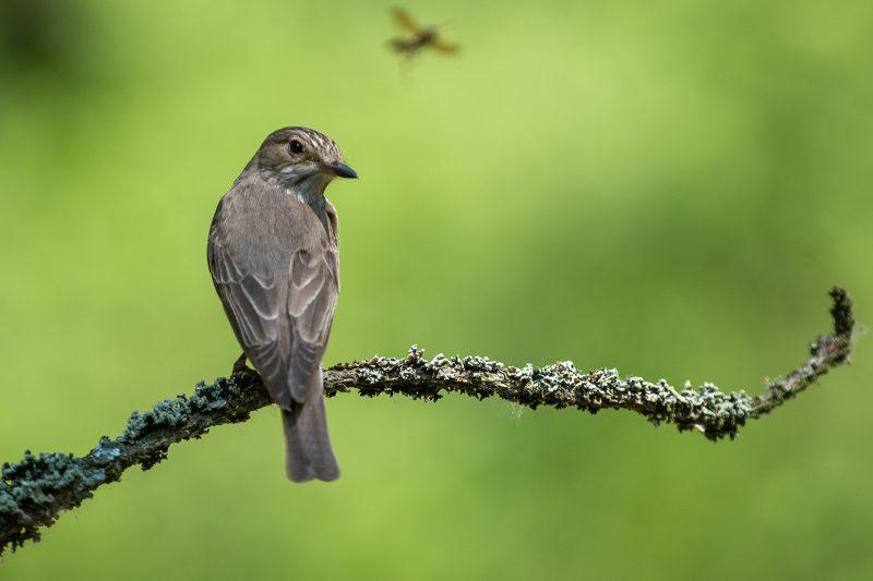 Flycatcher in woodland