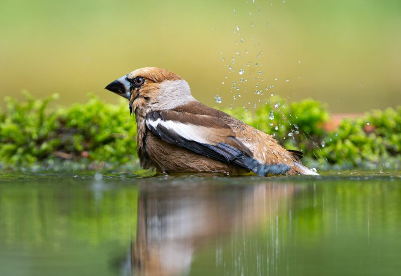 Bird cleaning in water
