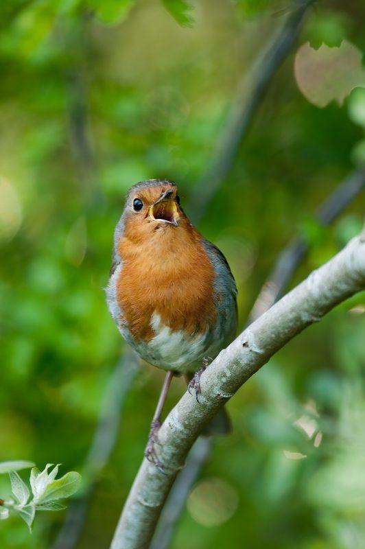 Woodland Robin singing
