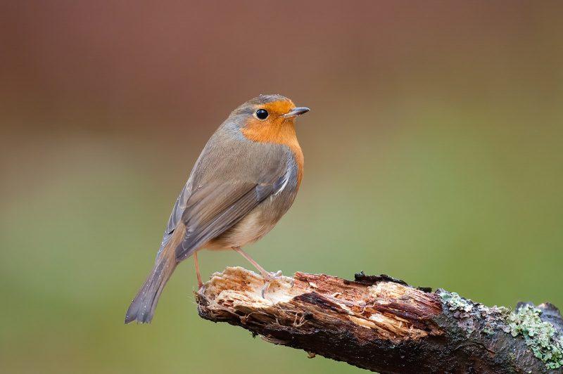 Robin in woodland