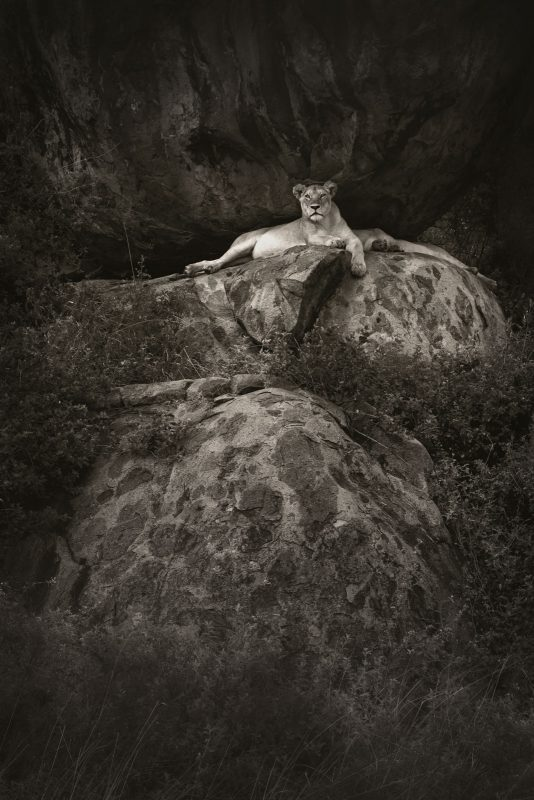 Black and white photo of a lion on a rock