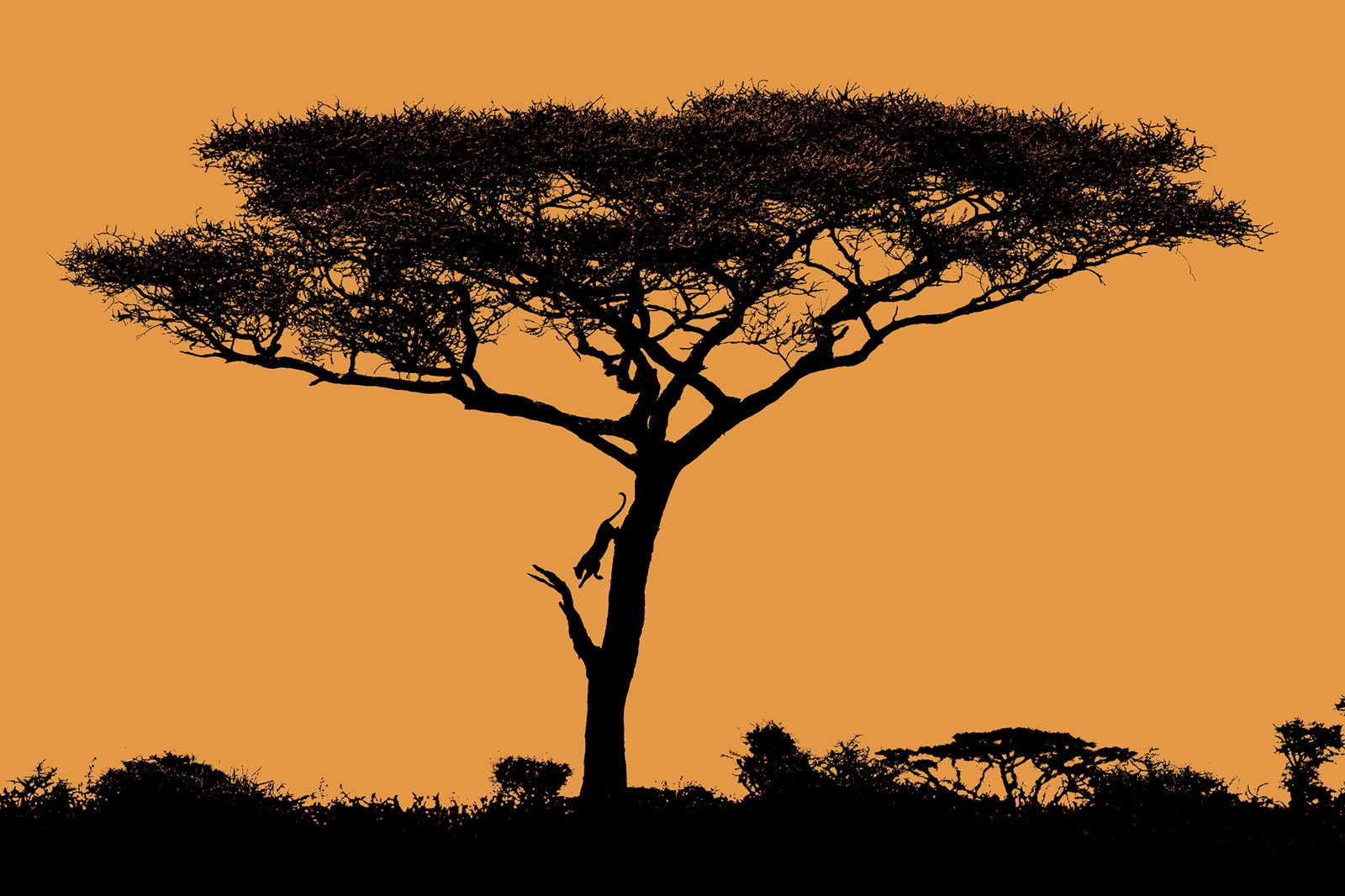 Leopard jumping down a tree - silhouette