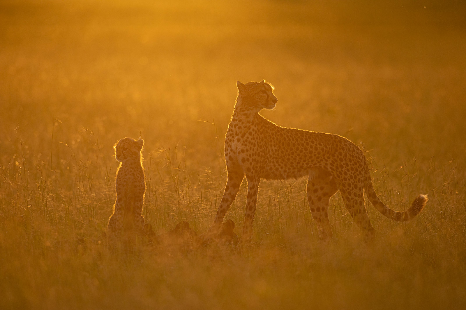 Backlit cheetah and cub