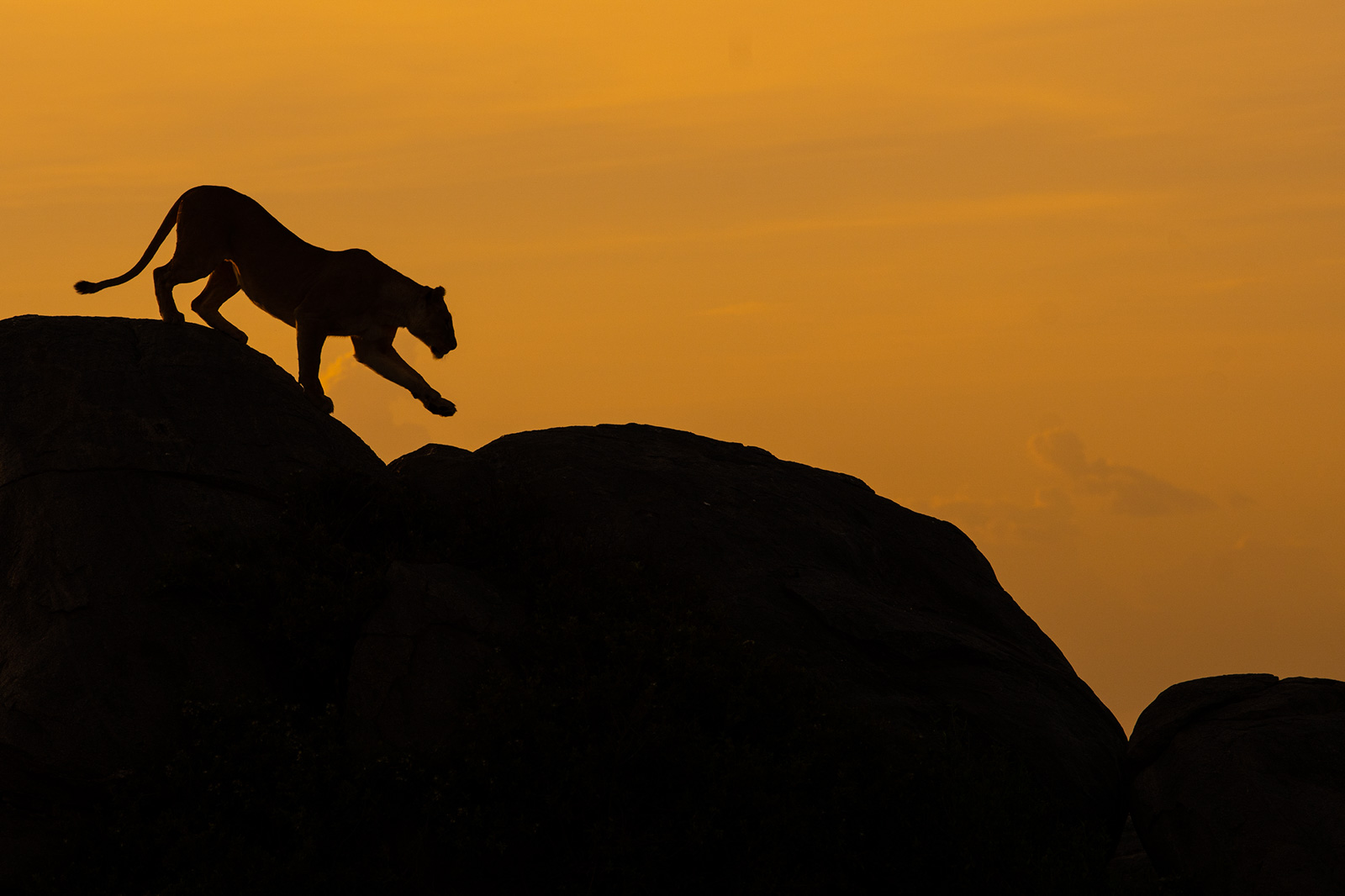 Silhouetted lion