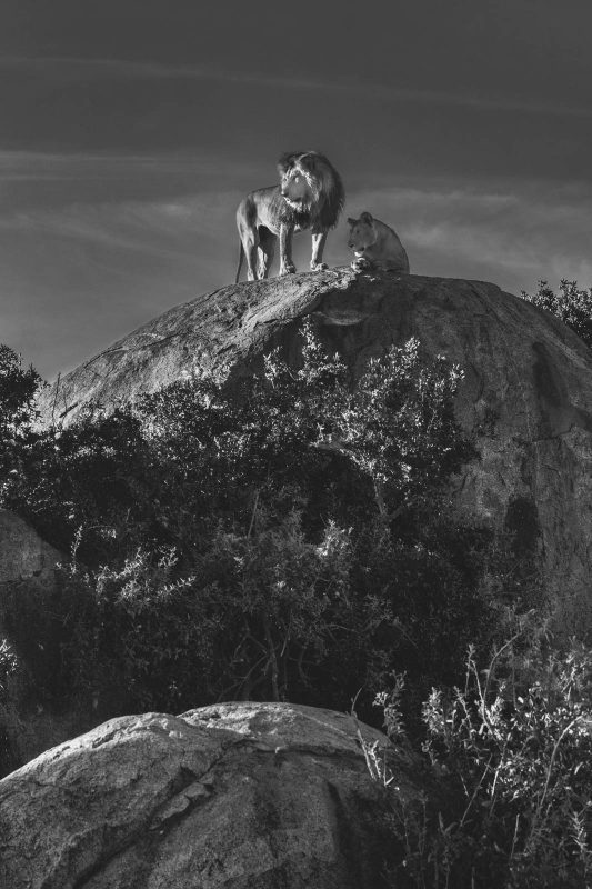 Lion and lioness on top of a rock - black and white