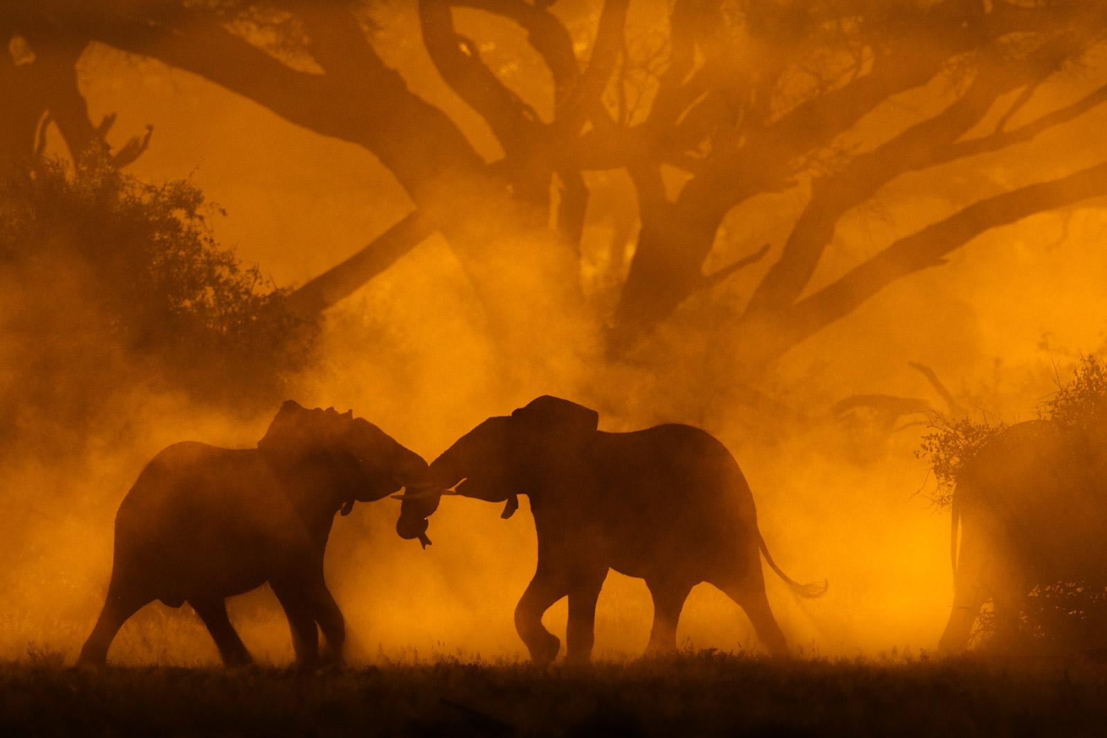 Elephants fighting in backlit dustcloud