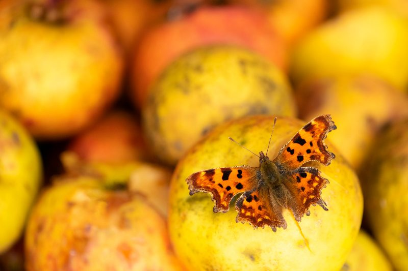 Comma butterfly on apples