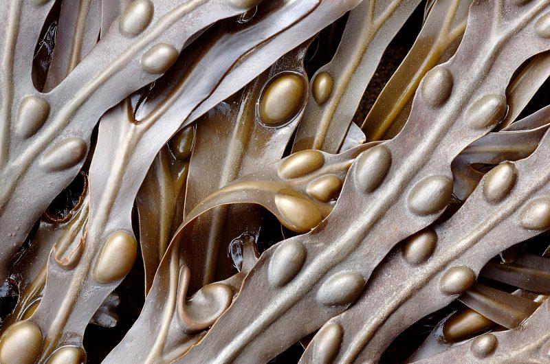 Seaweed macro