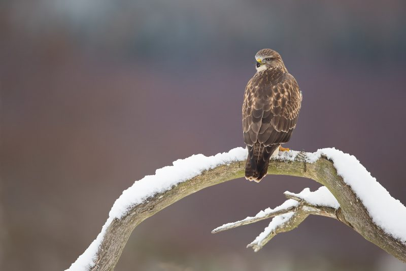 Buzzard on perch in snow