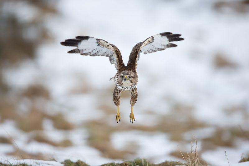 Buzzard in flight in snow