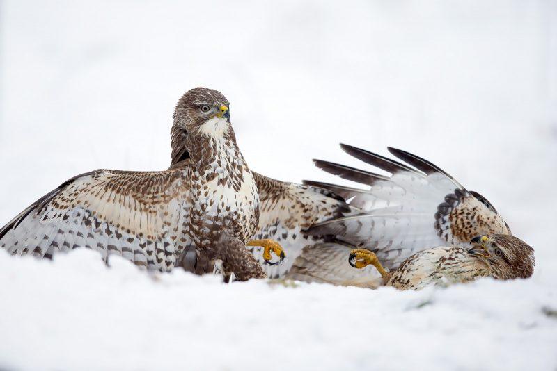 Fighting buzzards in snow