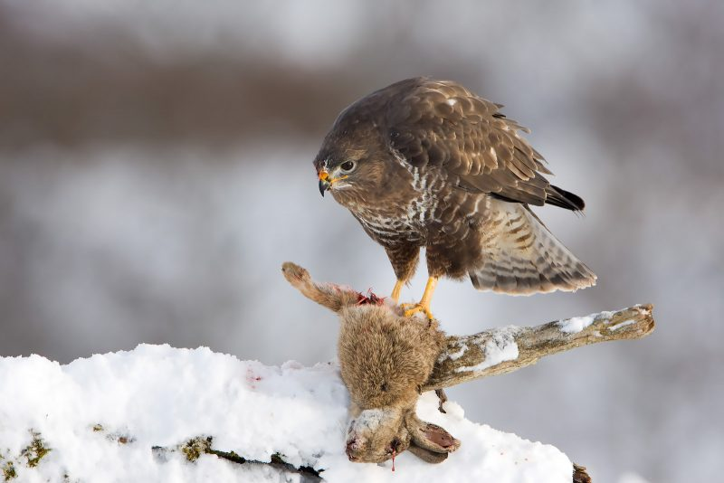 Buzzard perched with bait