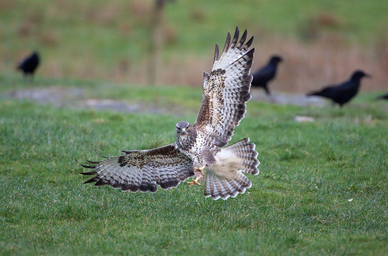 Buzzard landing one a field