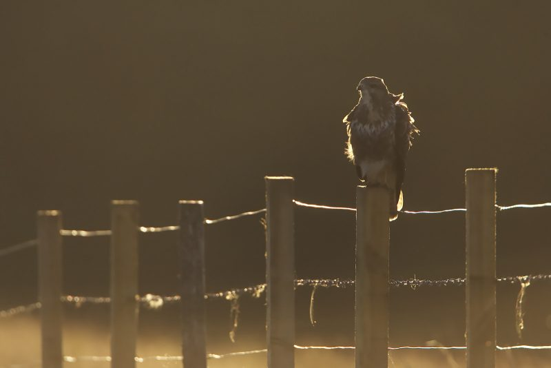 Backlit buzzard photographed on fence post