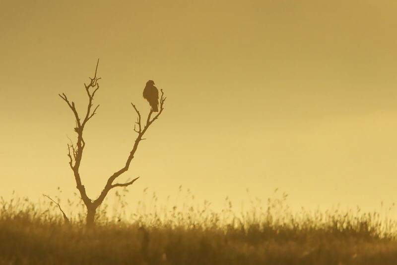 Buzzard perched on tree