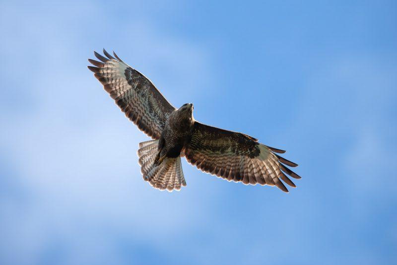 Soaring buzzard