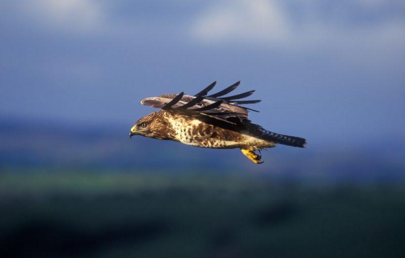 Buzzard in flight with hills in background