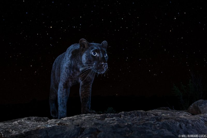 melanistic leopard under stars