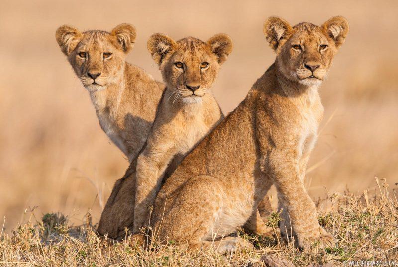 three lion cubs