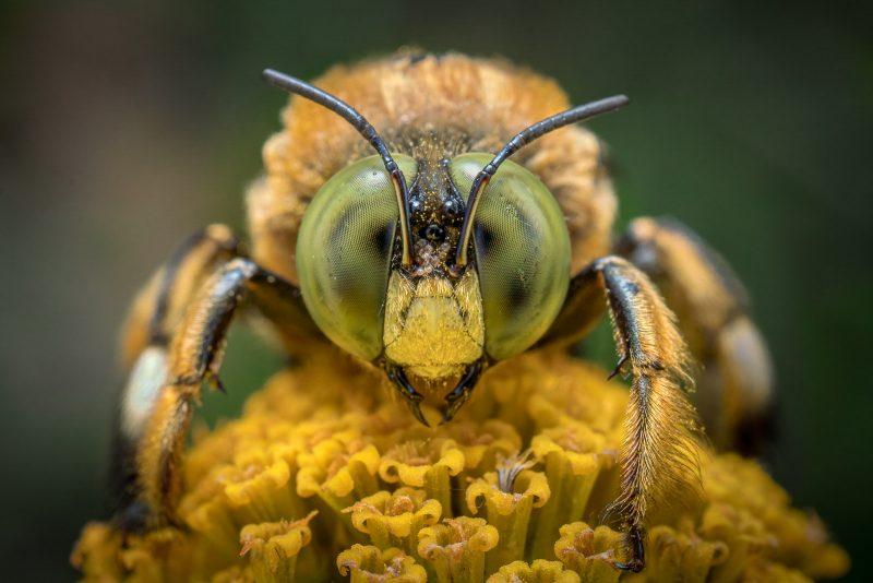 Bee portrait macro shot