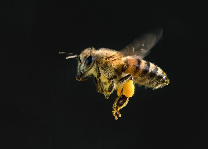 Low key bee in flight