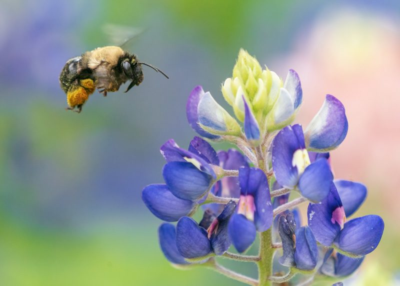 Bee hovering next to blue flower