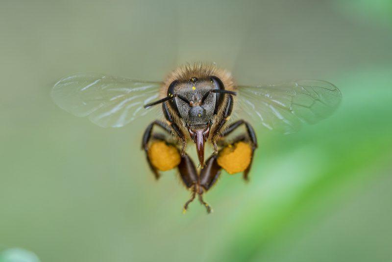 Portrait of flying bee