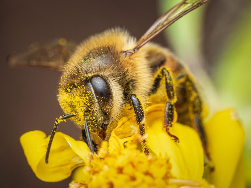 Bee covered in pollen on flower