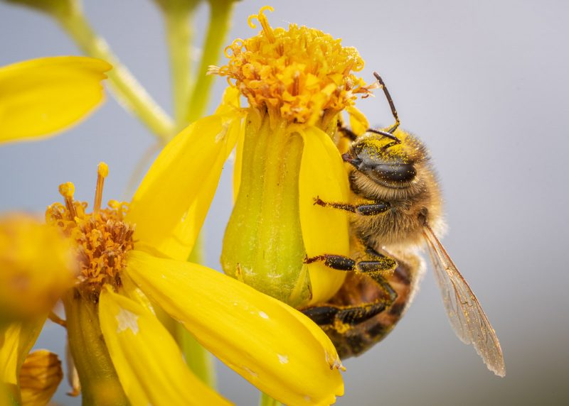 Bee collecting pollen from yellow flower
