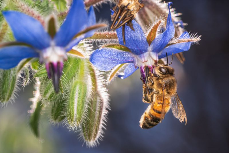 Bee feeding from blue flower