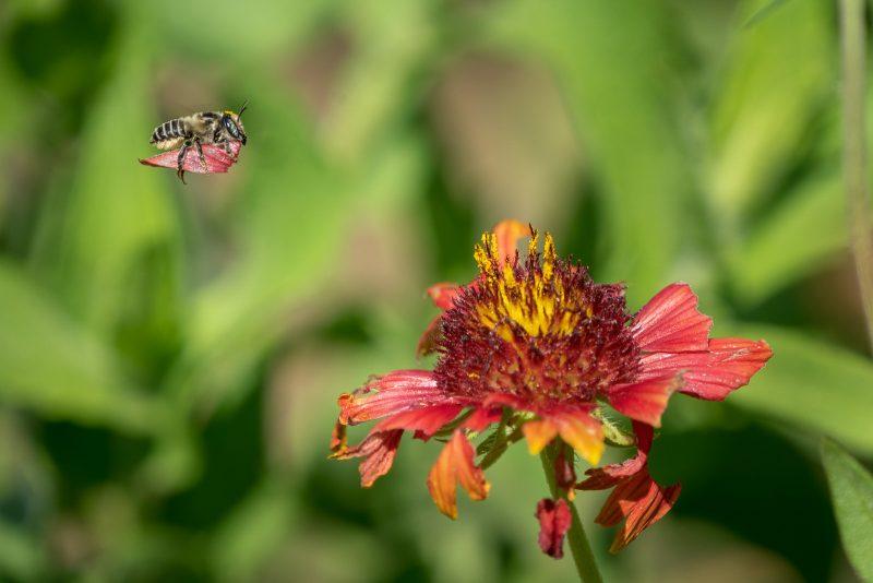 Bee carrying a petal in flight