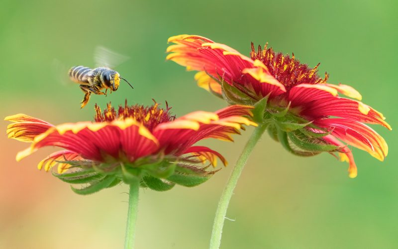 Bee hovering over red flower