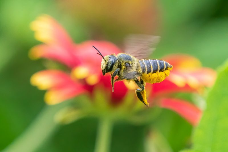 Bee flying in front of red flower