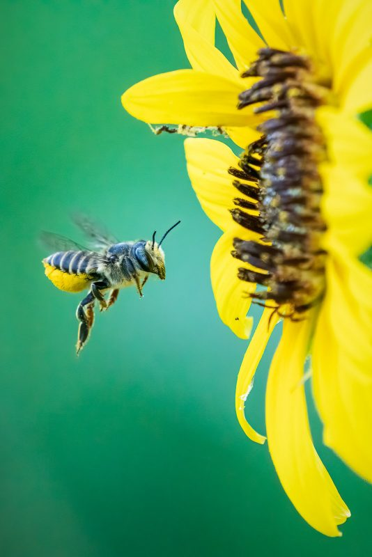 Bee feeding from yellow flower