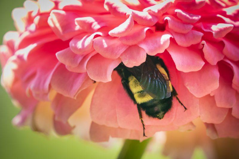 Bee backend feeding in a pink flower