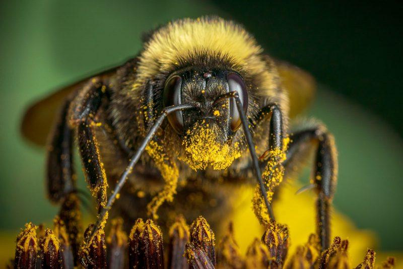 Macro bee portrait